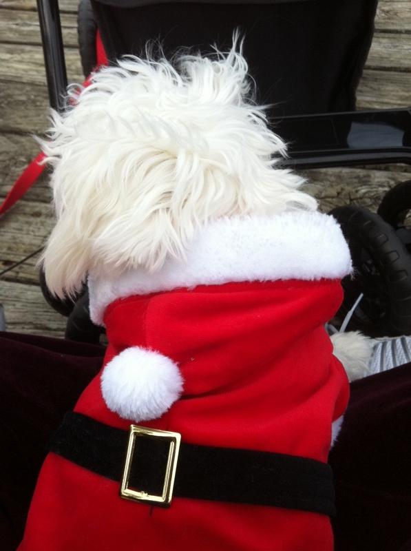 Dirk is Santa, sweet puppino, maltese, christmas, huntsville tx real estate, homes for sale, mari montgomery, keller williams, walker county