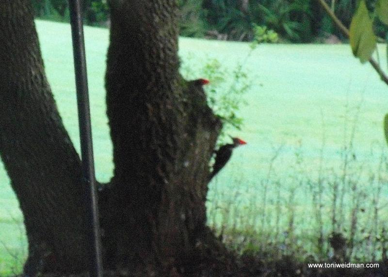 Pileated Woodpeckers in Timber Greens, Trinity, FL