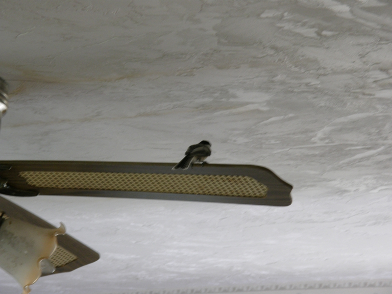Chickadee on Ceiling Fan Blade