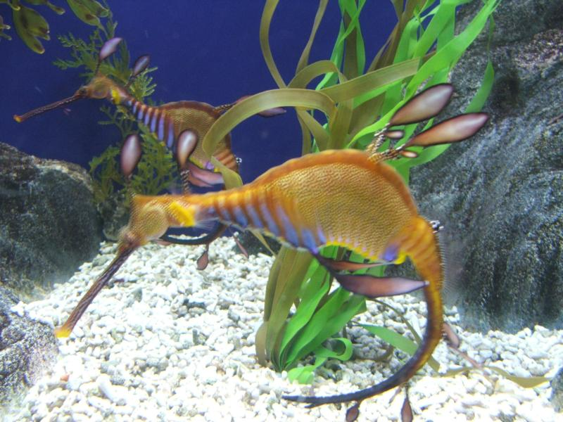 This is the strangest sea horse i have ever seen for Seahorse fish tank