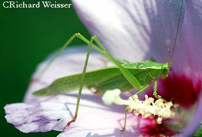 Grasshopper on Hibiscus