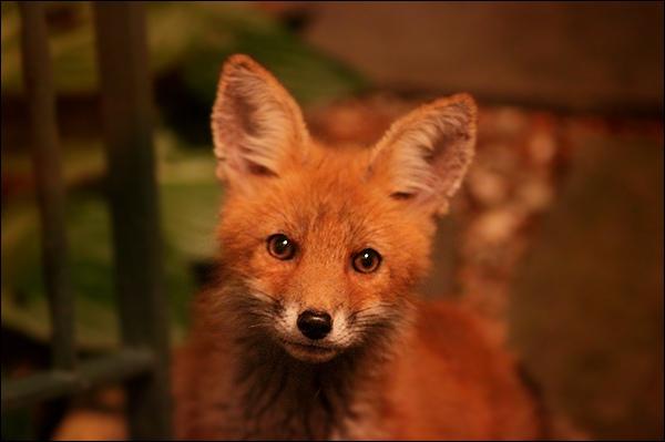 Wildlife Weekend - Foxes in my Backyard!