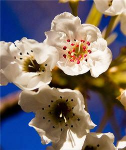Pear Blossom Festival - Medford Oregon - April 10th & 11th