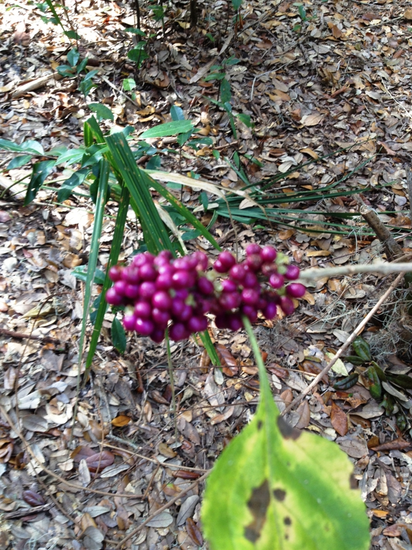 Florida's Beautyberry is a natural insect repellent and also makes a