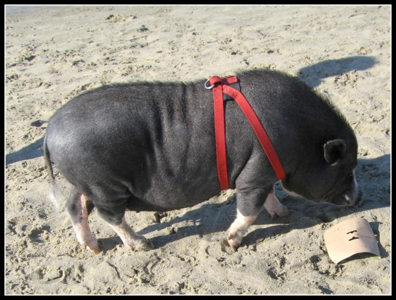 Have you ever seen a pig on Newport Beach?