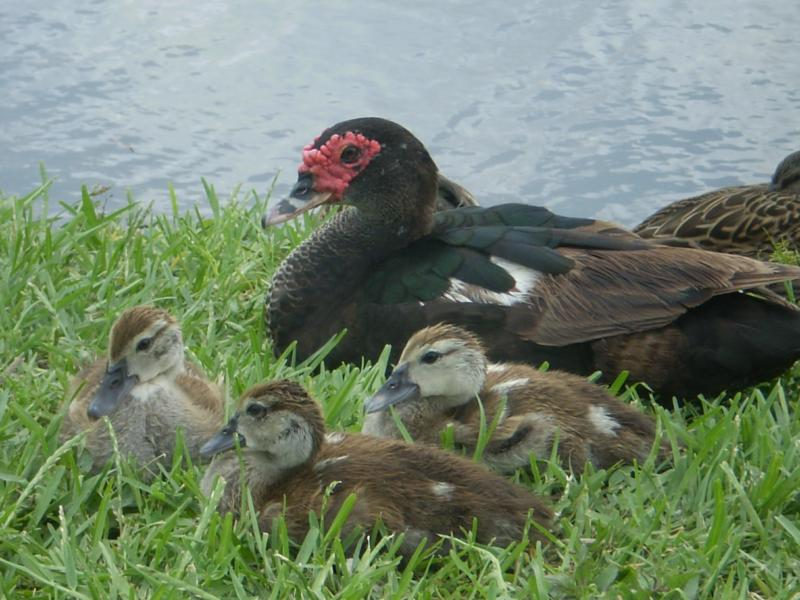 Ducks in Melbourne Florida
