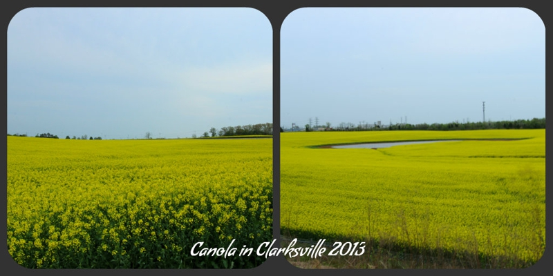 What are the yellow fields in clarksville mightylinksfo