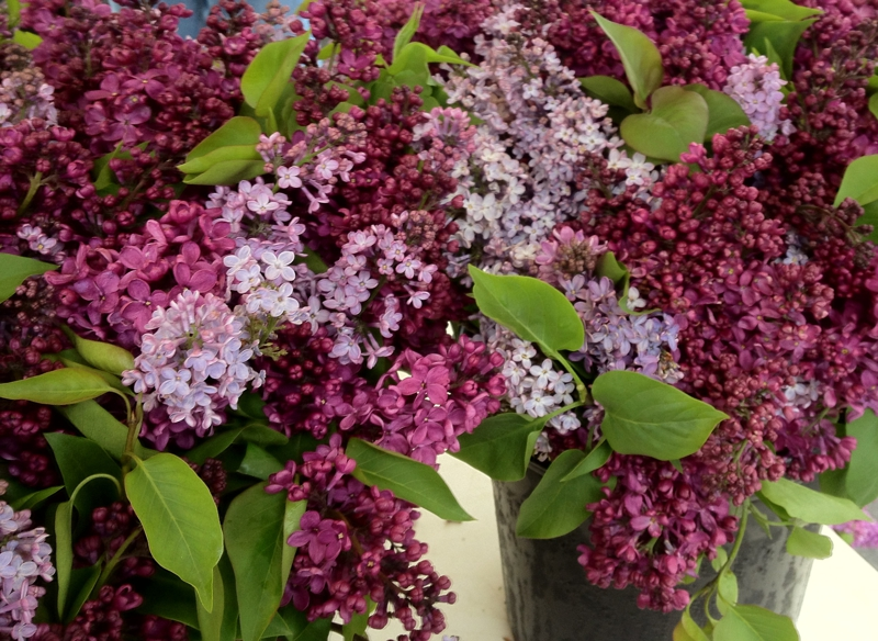 Lilacs at the Santa Barbara market
