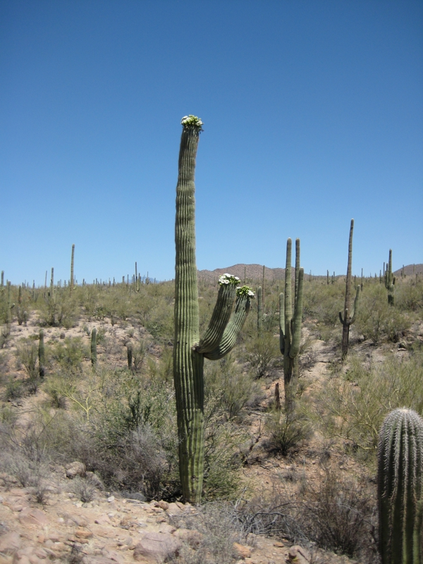 Saguaro at Signal Hill in Tucson Mountain Park