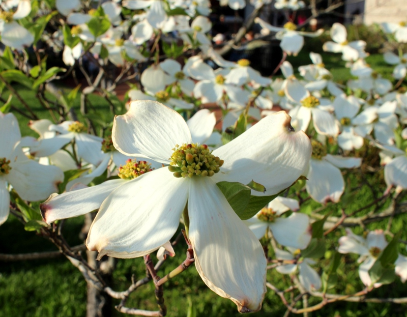 Dogwood winter