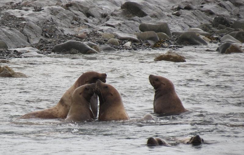 Sea Lions Alaska