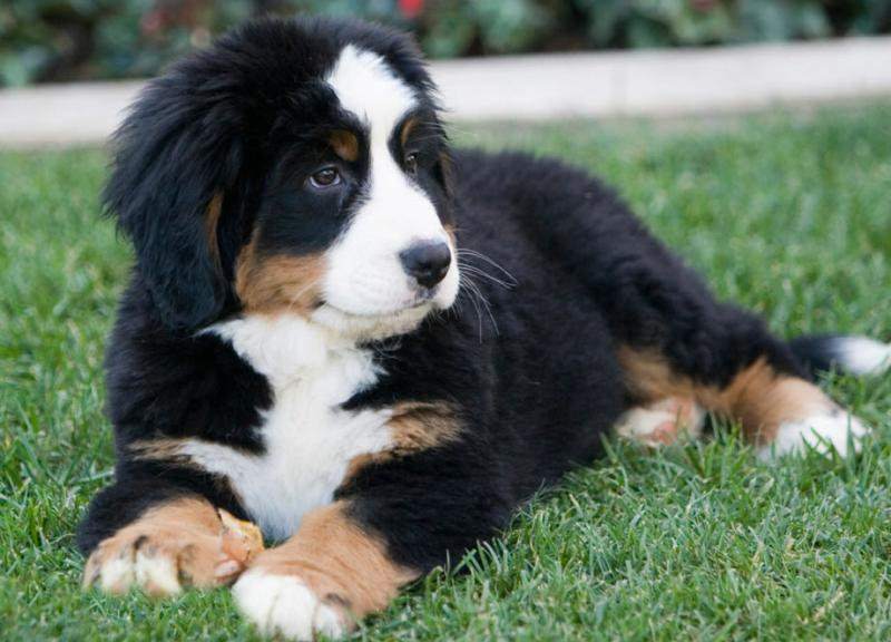Our New Bernese Mountain Dog - Otto
