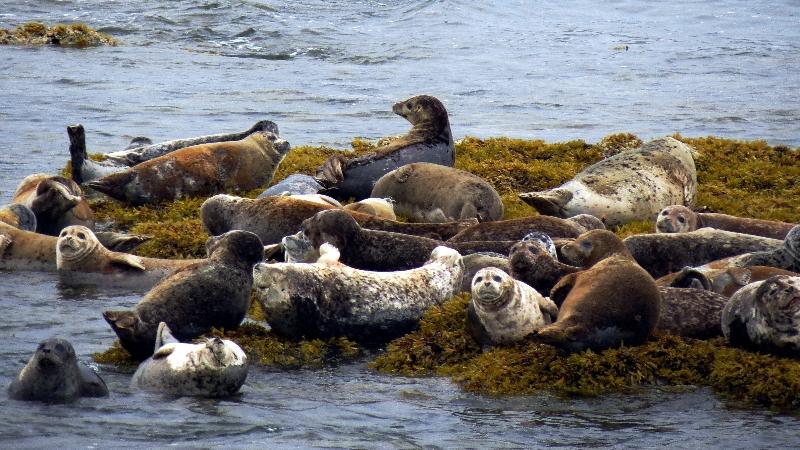 Harbor Seals Alaska