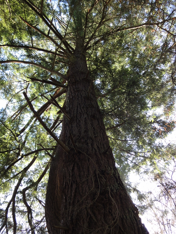 Towering Cedar Tree