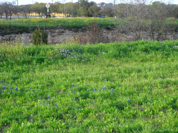 Texas Bluebonnet in San Antonio