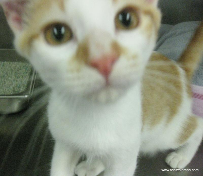 Kitten at the SPCA Suncoast-Toni Weidman