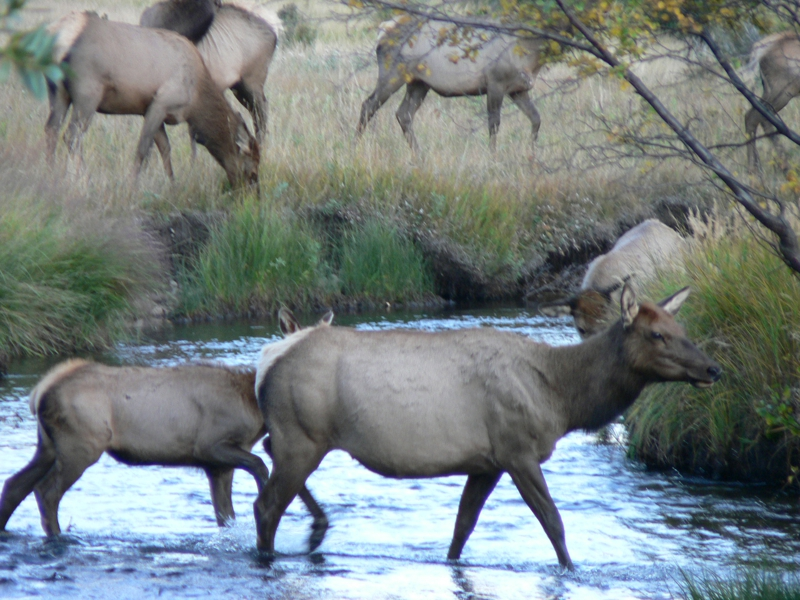 Elk Grazing At Dusk Albuquerque NM