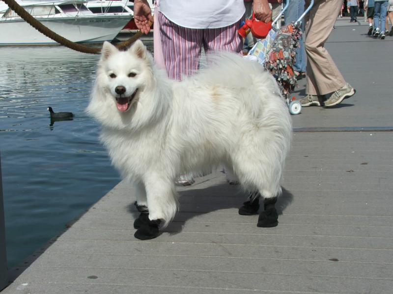 Dog with Booties