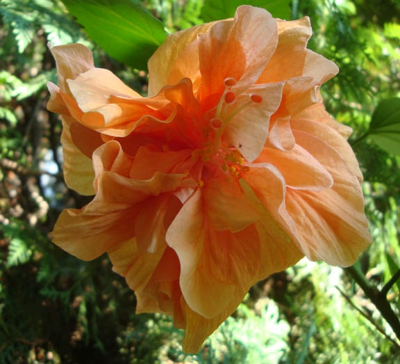 Peach colored double hibiscus flower