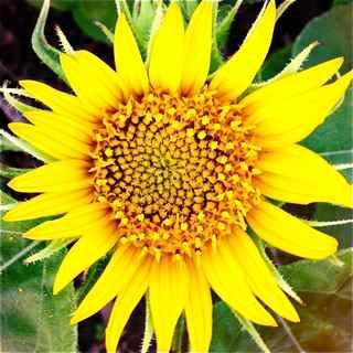 Haiku Maui HI sunflower