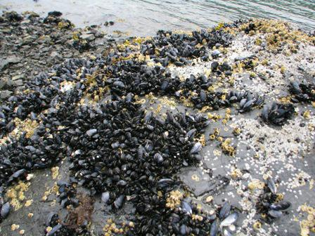 mussles at low tide, ready to pick and boil