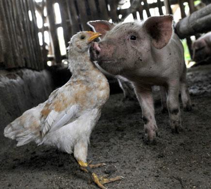 pig chicken barnyard photo