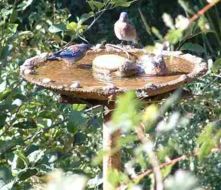 how to keep bird bath clean
