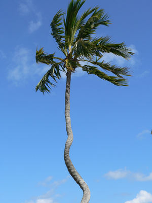 Miami Shores Palm Tree