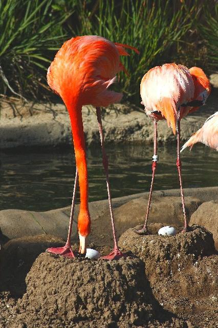Flamingo nest - photo#36