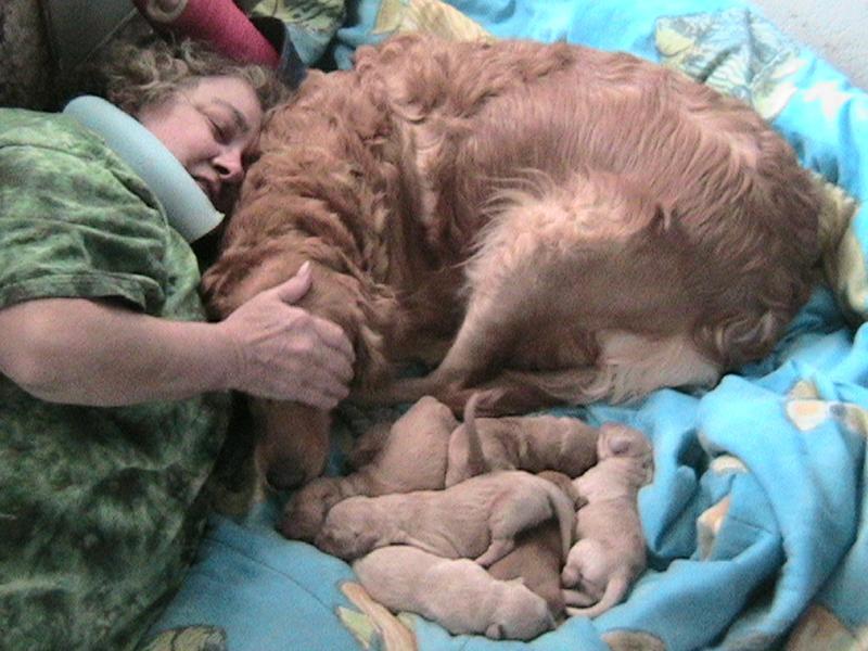 golden retriever puppies mn. Golden Retriever Puppies.