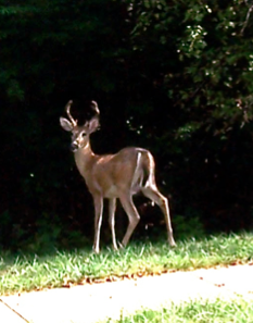 Deer in Newington Forest Neighborhood-Springfield VA