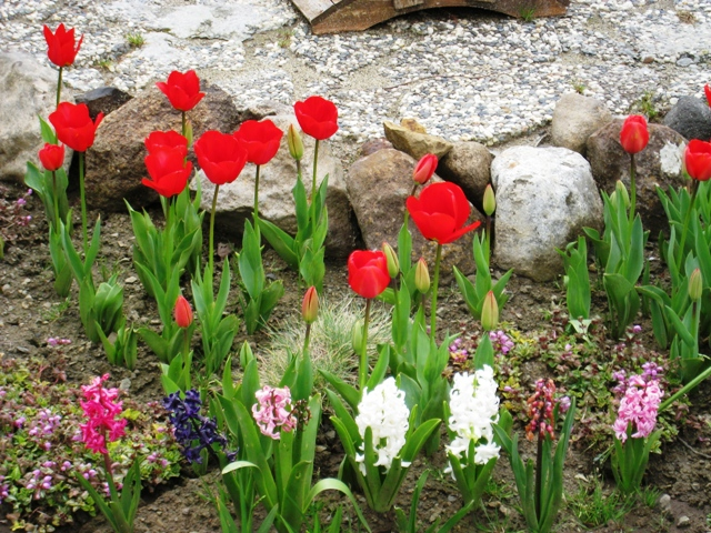 Benicia Tulips