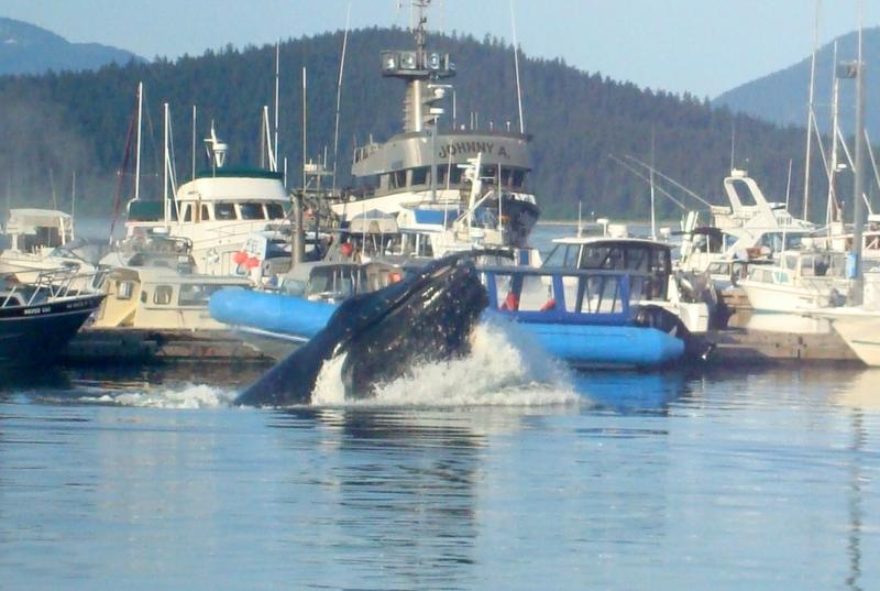 Wow... humpback right in the harbor!