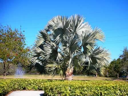 Blue Palm trees