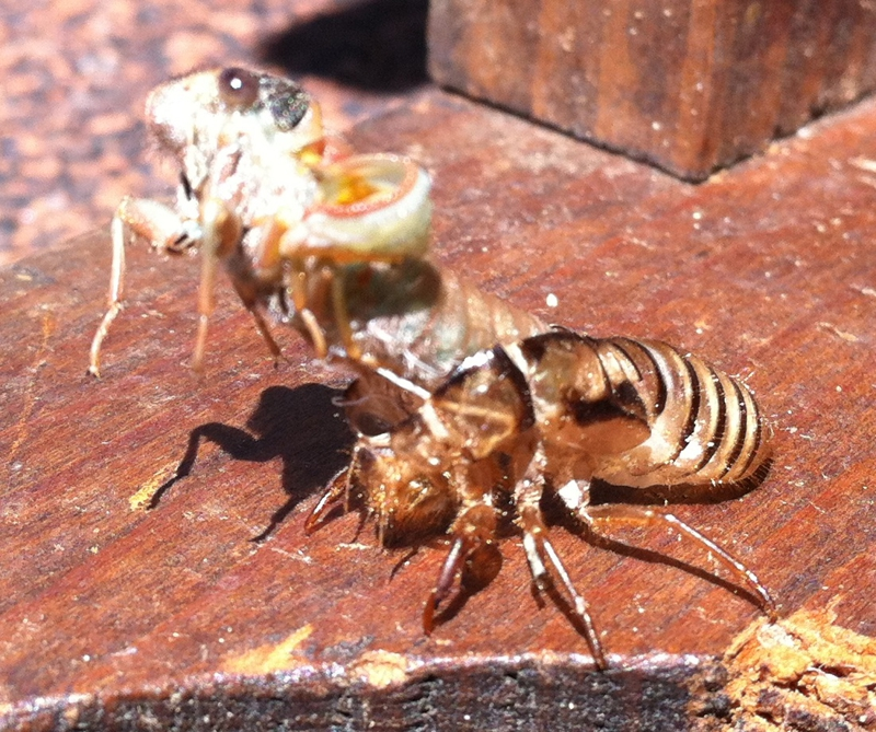 Molting Putnam Cicada