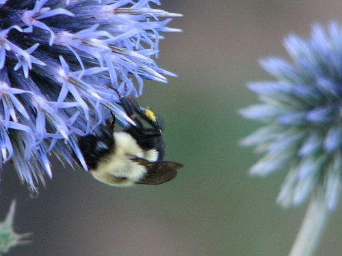 maine bee flower photo