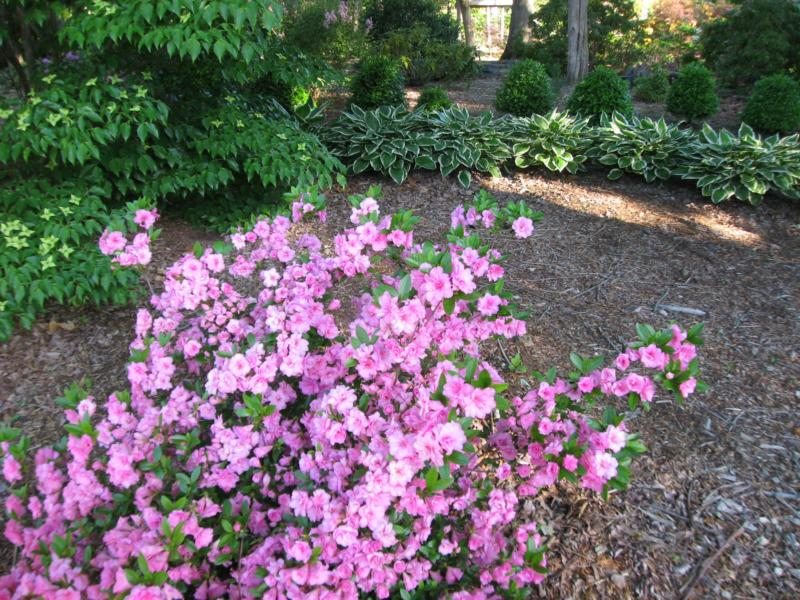 azaleas and hostas