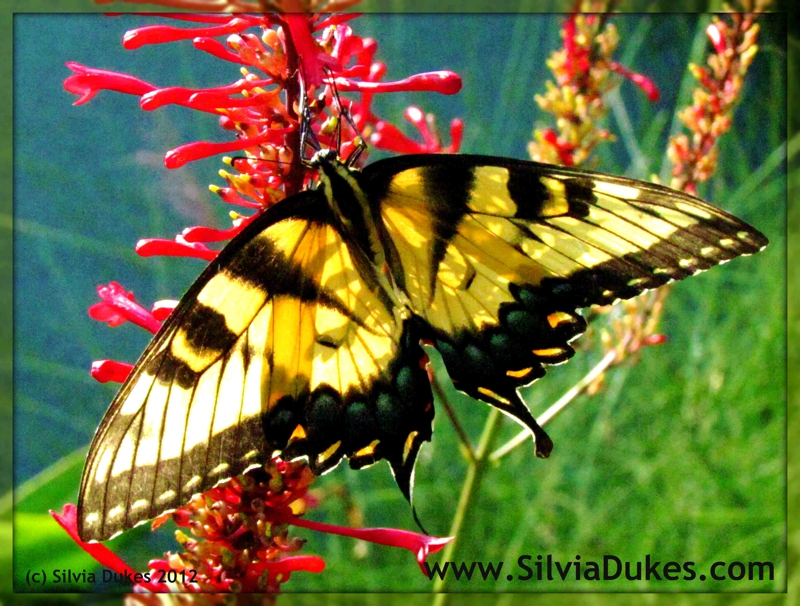 Butterfly and Fire Spike Photo by Silvia Dukes