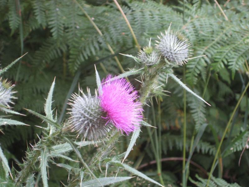 Thistle in Bloom in Olympia