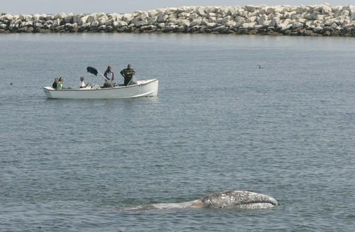 Gray Whale in Channel