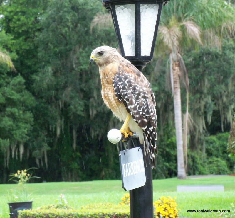 Our Visitor Is A Red Shouldered Hawk