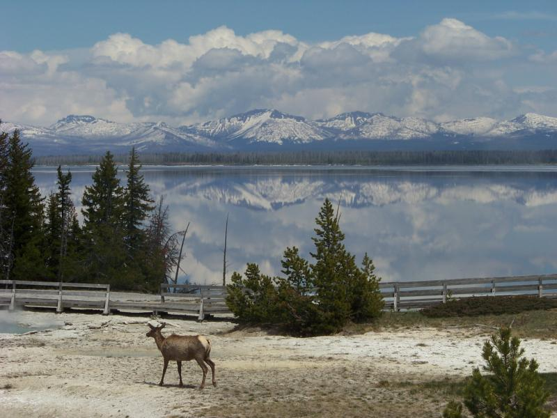 Elk near Yellowstone Lake