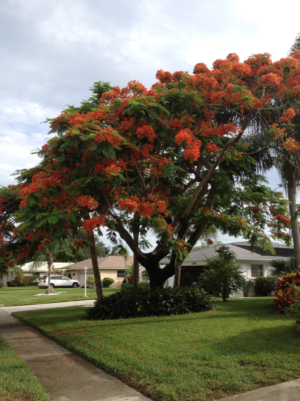 Royal poinciana delonix regia specimen tree for your for Specimen trees