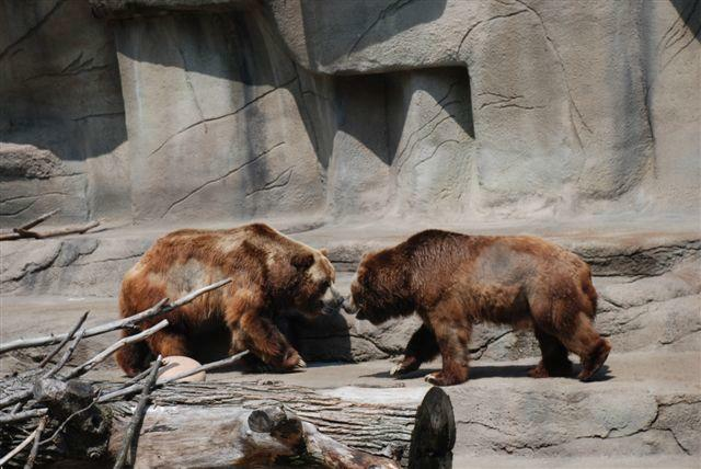 Bears playing at Cleveland Zoo
