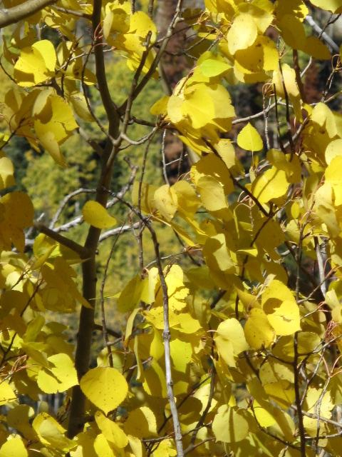 golden aspen leaves