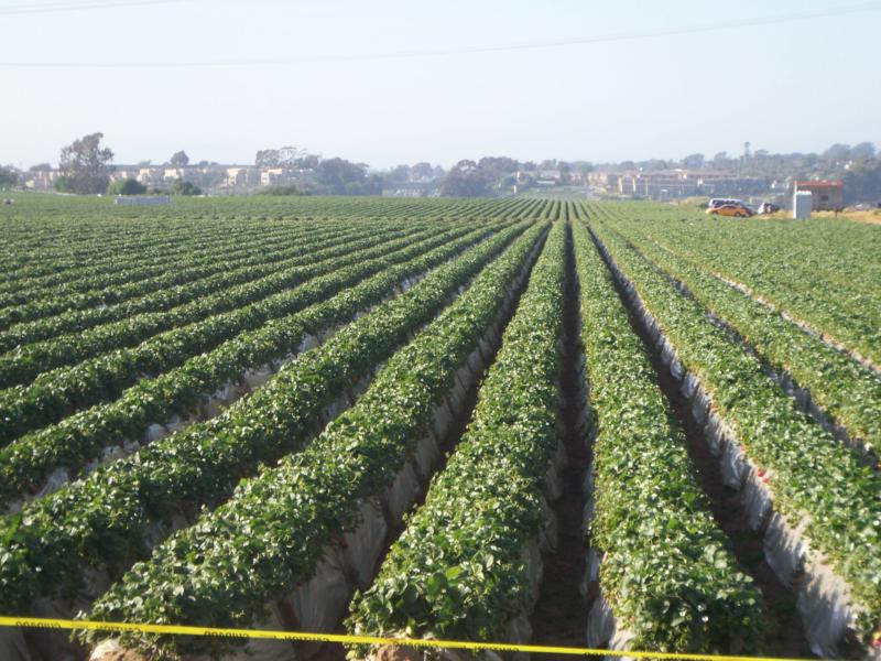 Strawberry field in Carlsbad