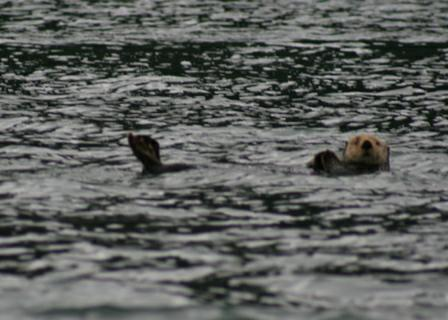 sea otter on his back watching us