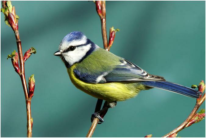 ¿Qué pájaro es ... Preguntas y respuestas - Pacific NW Birder