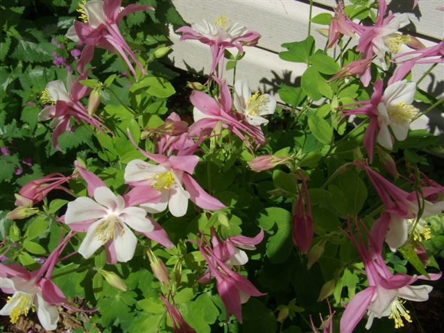 columbines are a favorite flower
