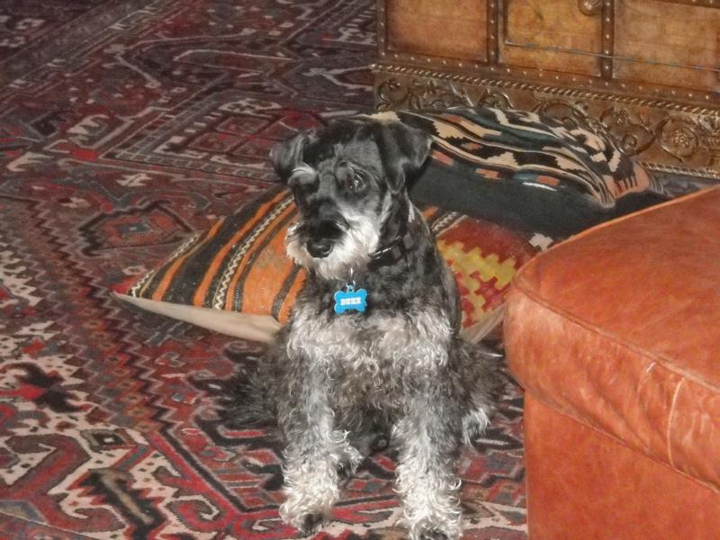 Our Adopted Schnauzer Duke